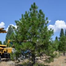17_Aug_Treefarm-6653