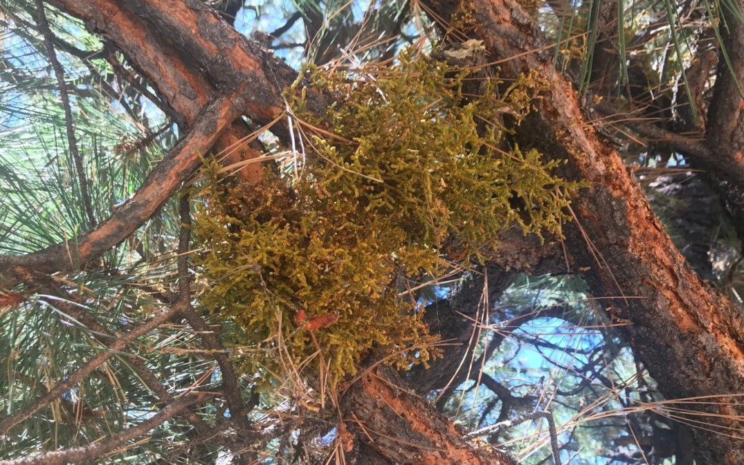 Home Remedy to Kill Mistletoe in Trees
