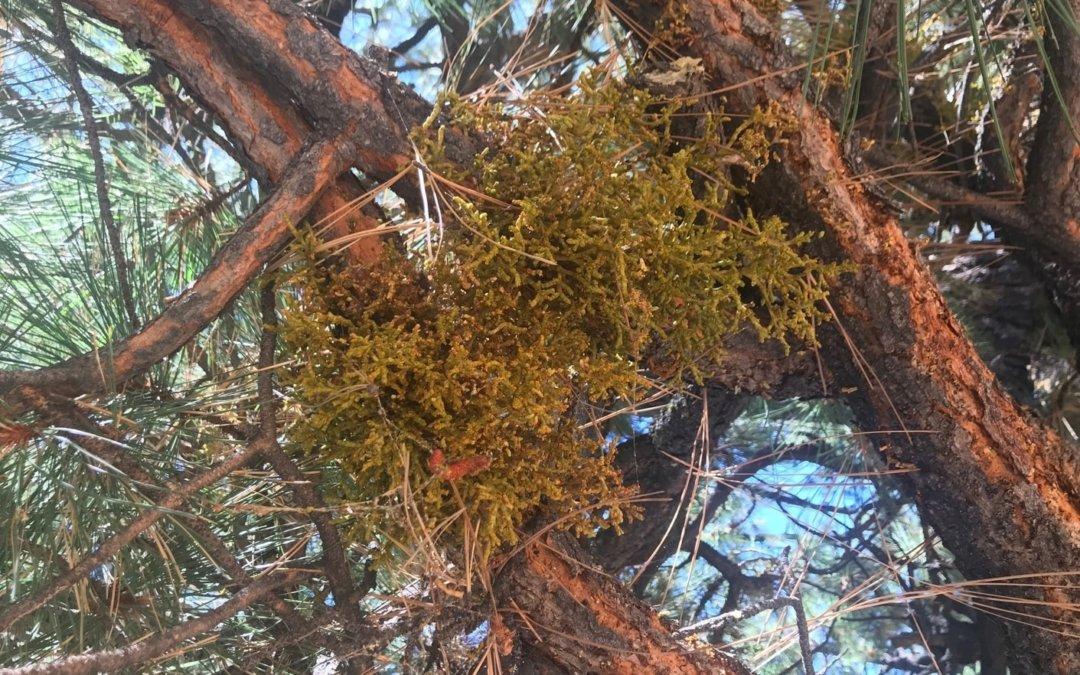 Home Remedy to Kill Mistletoe in Trees