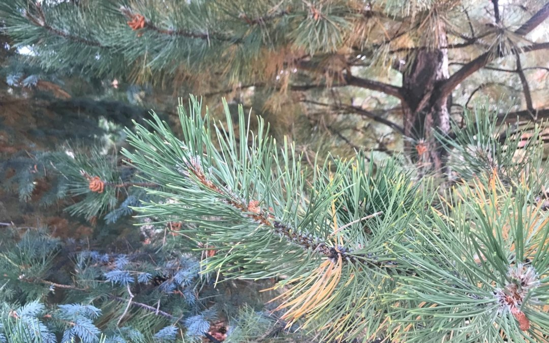 Pines shed their needles the same as a leaf!